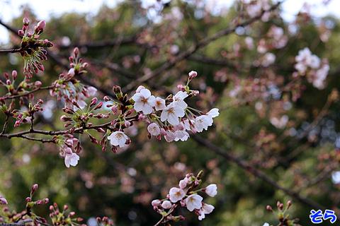桜0634.jpg