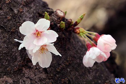 桜0759.jpg