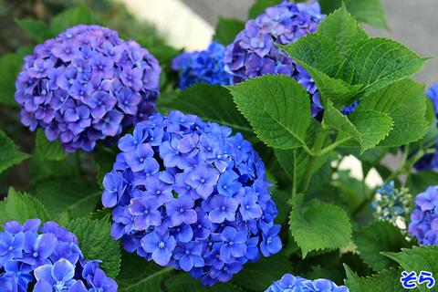 紫陽花_9421.jpg